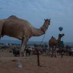 Ten reasons to visit Pushkar Camel Fair