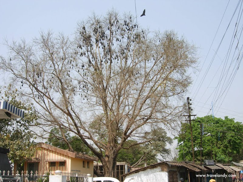 Bats chill out on a tree in Murshidabad