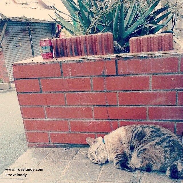 Fat Japanese cat