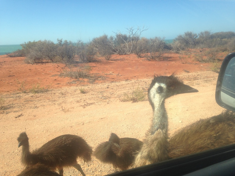 The mother emu checks herself out in the rear-view mirror of our car. Picture by Katharina Schnitzler