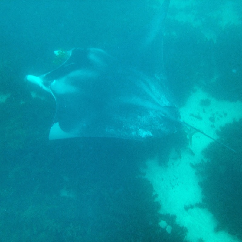 A huge manta ray swims below us. Picture by Katharina Schnitzler