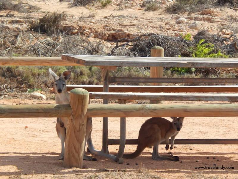 Kangaroos at a rest area in Cape Range National Park