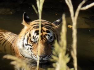 A tiger at Ranthambhore National Park. Picture by Soumajit Saha.