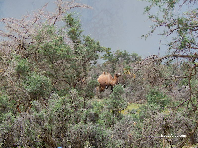 The first double-humped camel that I saw