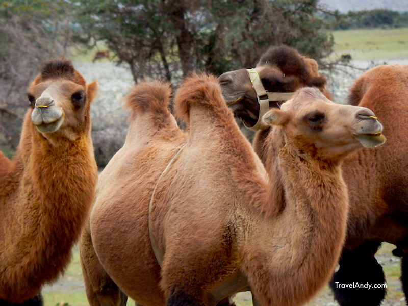 Most of the camels seemed like they are well looked after