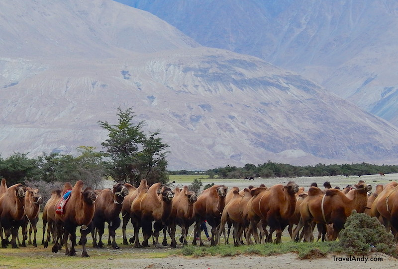 The camels arrive in the afternoon to offer rides to tourists. A 15-minute ride costs INR200