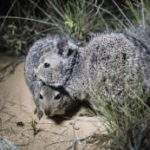 Hare-wallabies introduced to Dirk Hartog island
