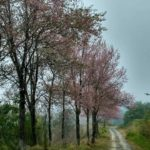 Manipur's first cherry blossom festival