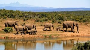 Botswana is home to 130,000 elephants