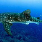 Whale shark season is here at the Ningaloo reef in Australia